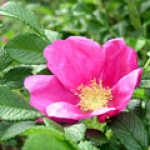 Trandafirul japonez Hamanasu