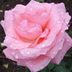Trandafir Taif