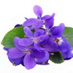 Violete